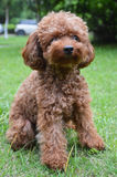 Mini Poodle Sitting Pose Royalty-vrije Stock Afbeelding