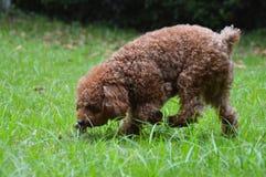 Mini Poodle Sniffing het Gras Stock Fotografie