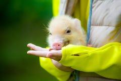 Mini porcellino sveglio sulle armi del bambino Fotografie Stock Libere da Diritti