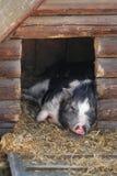 Mini porco Fotografia de Stock Royalty Free