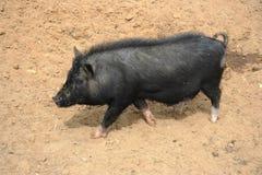 Mini-porco Foto de Stock