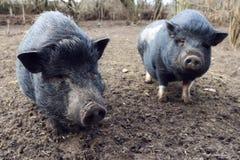 Mini porco dois na lama imagens de stock