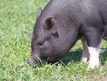 Mini porco encantador no pasto Fotografia de Stock Royalty Free