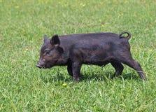 Mini porco preto em um prado Fotos de Stock