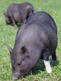 mini porcos no pasto Imagens de Stock