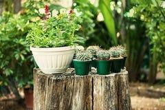 Mini potes del cactus en tocón de árbol Foto de archivo libre de regalías