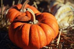 Mini Pumpkin Fotos de Stock