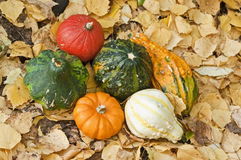 Mini pumpkins. In yellow leaf Stock Images