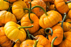 Mini Pumpkins Royalty Free Stock Photos