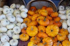 Mini Pumpkins Images libres de droits