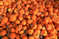 Mini Pumpkins. Several bright orange miniature pumpkins piled in the grass Stock Photography