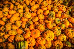 Mini pumpkins in autumn royalty free stock images