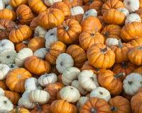 Mini Pumpkins Stock Images