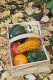 Mini pumpkins and basket. Mini pumpkins in a basket Royalty Free Stock Photo