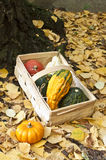 Mini pumpkins in a basket. Mini pumkins on yellow leafs Royalty Free Stock Photos
