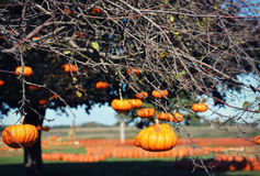 Mini Pumpkins Hanging From Tree stock afbeeldingen