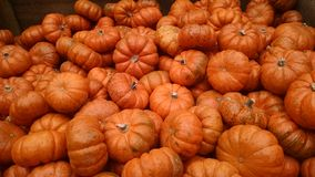 Mini Pumpkins. Pile of bright orange mini pumpkins Royalty Free Stock Photo