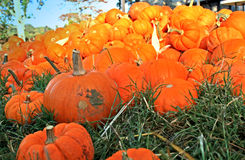 Mini Pumpkins Piled. Several bright orange miniature pumpkins piled in the grass Royalty Free Stock Photography
