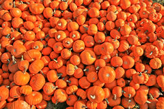 Mini Pumpkins Piled. Several bright orange miniature pumpkins piled in the grass Stock Photography