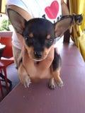 Mini Puppy imagens de stock royalty free