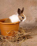 Mini rabbit in big flowerpot. Little rabbit baby sitting in a big stone flowerpot Stock Images