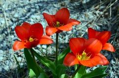 Mini Red Dutch Tulips tillfogar vårfärg arkivbild