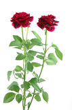 Mini red roses Royalty Free Stock Photos