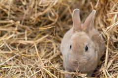 Mini Rex es una raza del conejo nacional que fue creado en 1984 en la Florida La mutación de Rex, derivada en Francia en el dieci fotos de archivo