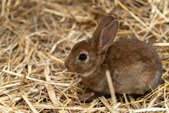 Mini Rex es una raza del conejo nacional que fue creado en 1984 en la Florida La mutación de Rex, derivada en Francia en el dieci imágenes de archivo libres de regalías