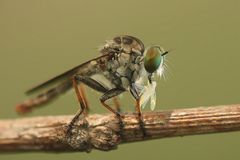 Mini Robber Fly Royaltyfria Foton
