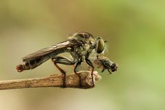 Mini Robber Fly and  The Fly Stock Photography
