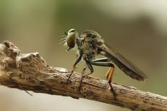 Mini Robber Fly Take en vila Arkivbilder