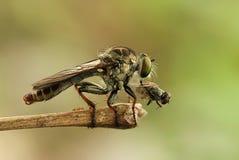 Mini Robber Fly y la mosca Fotografía de archivo