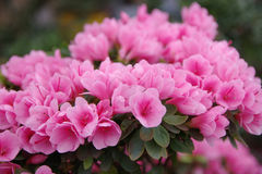 Mini- rosa azalea Arkivfoto