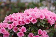 Mini- rosa azalea Royaltyfri Foto