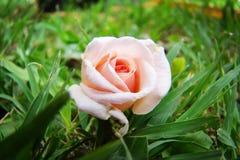 Mini rosa del fiore Fotografia Stock Libera da Diritti
