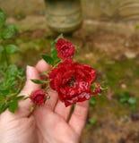 Mini rosa do vermelho após a chuva Imagens de Stock