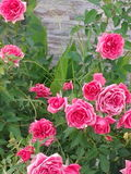Mini- rosa rosor i trädgården på den härliga födelsedagvagnen för vår royaltyfri foto