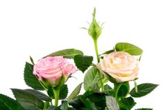 Mini rose Royalty Free Stock Photos