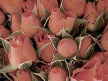 Mini rose Fotografia Stock Libera da Diritti