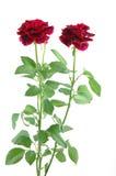 Mini rose rosse Fotografie Stock Libere da Diritti