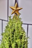 Mini Rosemary Christmas Tree in Studio with a Gold Star. A miniature Rosemary Christmas tree with only a gold star is in front of a checkered blind. Shot in HDR Stock Photos