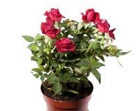 Mini roses Royalty Free Stock Photography