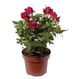 Mini roses Stock Photos