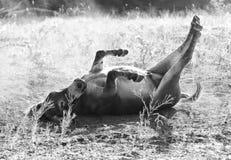 Mini roulement d'âne en noir et blanc image stock