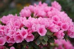 Mini roze azalea Stock Foto
