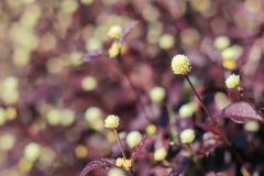 Mini rubino di rosso del fiore Immagini Stock Libere da Diritti