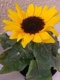 Mini słonecznik zasadzający z dużą uwagą zdjęcia royalty free