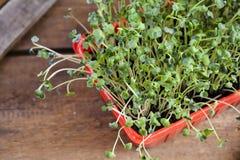 Mini salad Royalty Free Stock Photography
