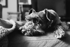 Mini Schnauzer Photo stock